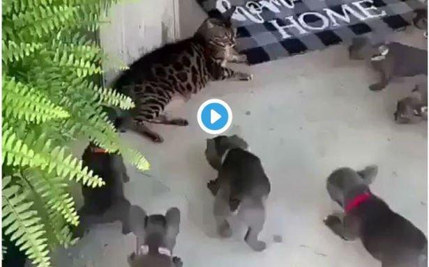Syv hundehvalpe angriber en kat  se...
