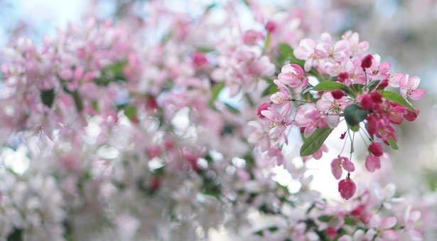 Dagens læserfoto: Smukke syrener